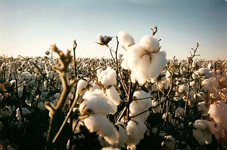 soaring cost of cotton